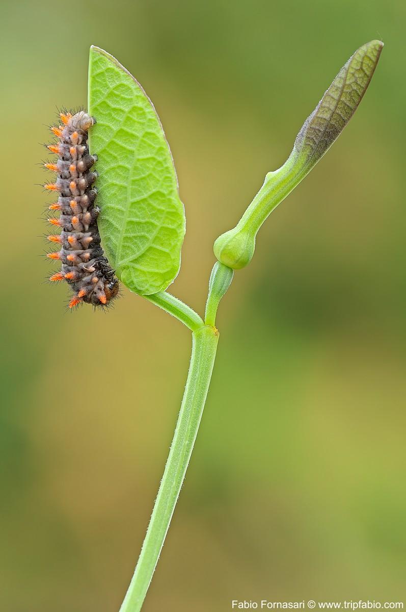 Larva, Zerynthia polyxena (Denis & Schiffe)... _dsc5312