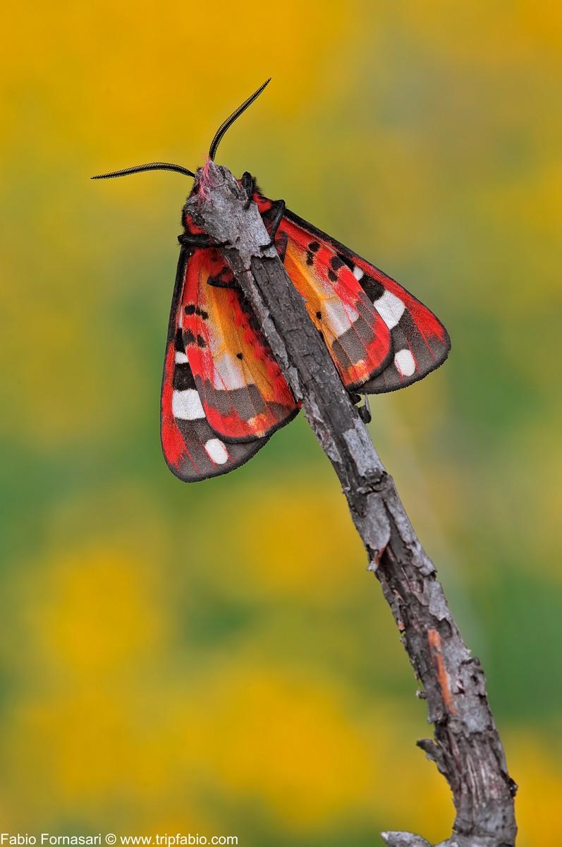 Arctia villica (Linnaeus, 1758) _dsc5511