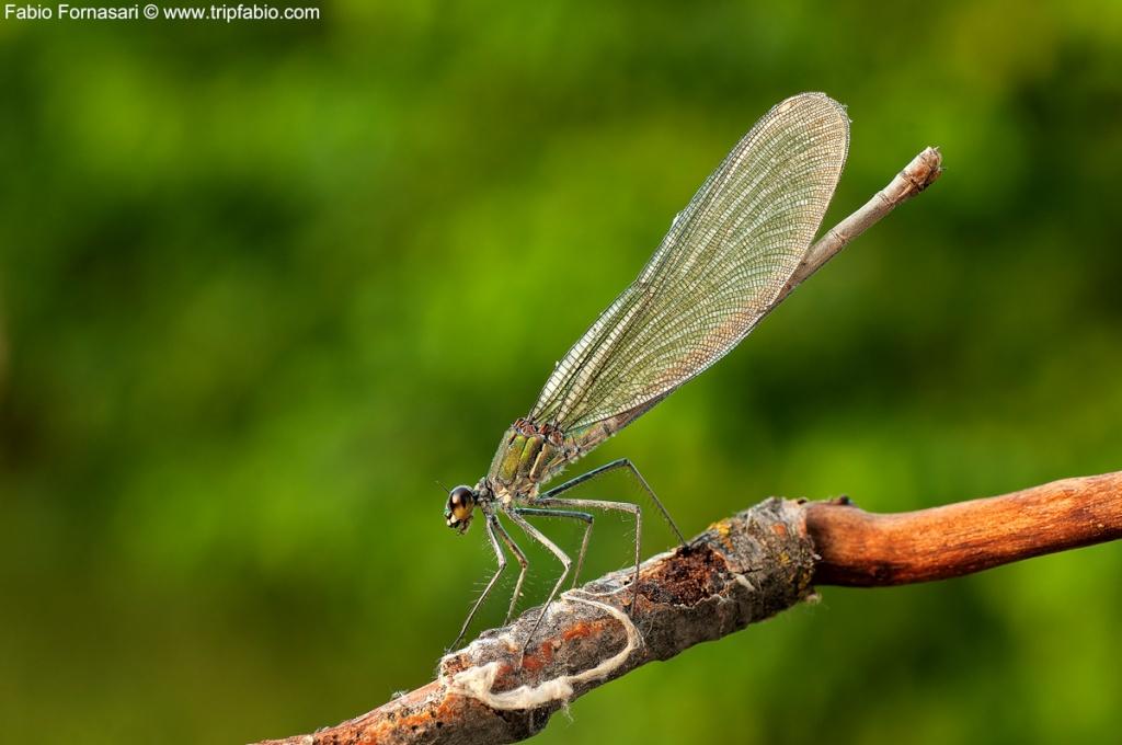 Calopteryx Splendes Femmina _dsc8711