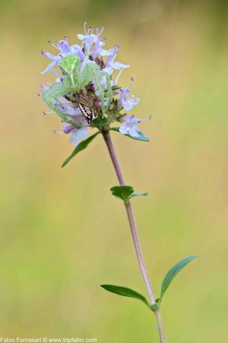 Heriaeus graminicola Heriae10