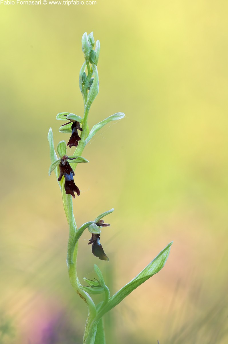 imparare con le orchidee Ophrys11