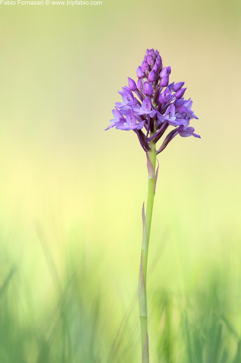 imparare con le orchidee Pirami10