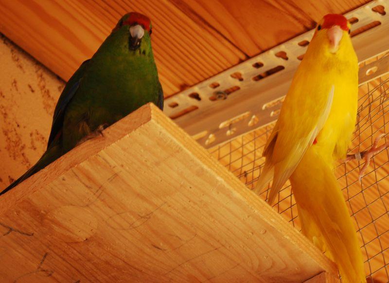 Présentation de mes oiseaux Dsc_1517