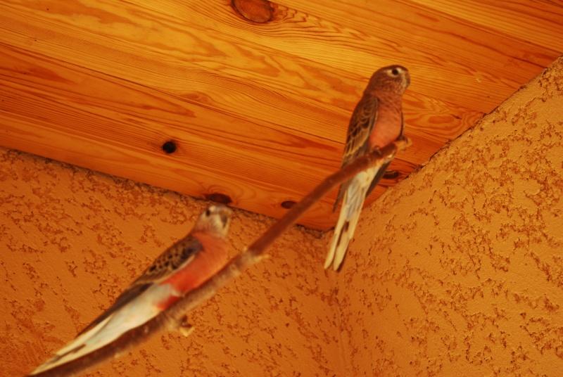 Présentation de mes oiseaux Dsc_1634