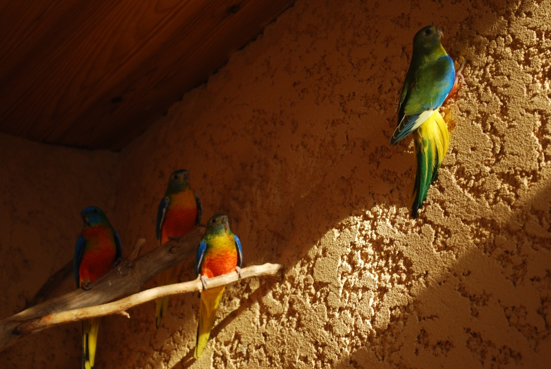 Présentation de mes oiseaux Dsc_1635