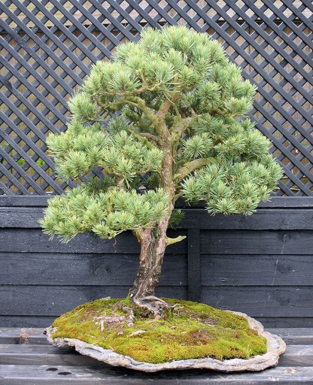 A Scots pine chooses a new keeper 00226