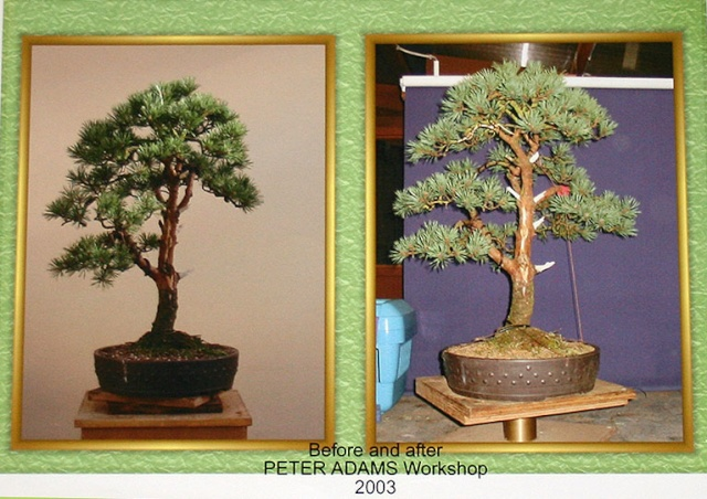 A Scots pine chooses a new keeper 00522