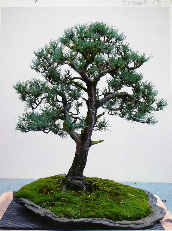 A Scots pine chooses a new keeper 00616