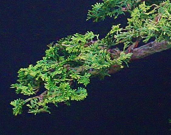 My poor Hinoki (Chamaecyparis obtusa nana) Cbr10