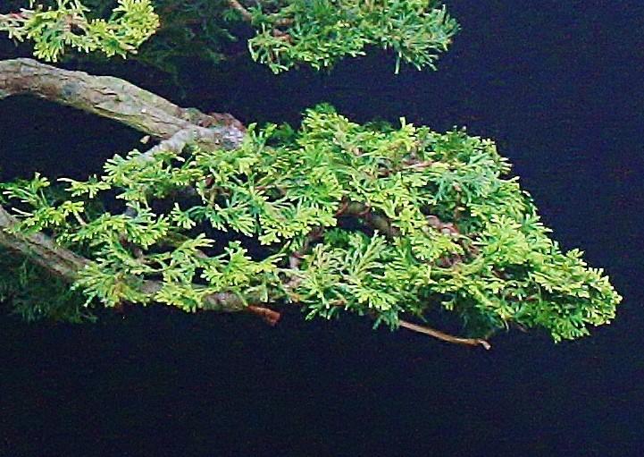 My poor Hinoki (Chamaecyparis obtusa nana) Cbranc10