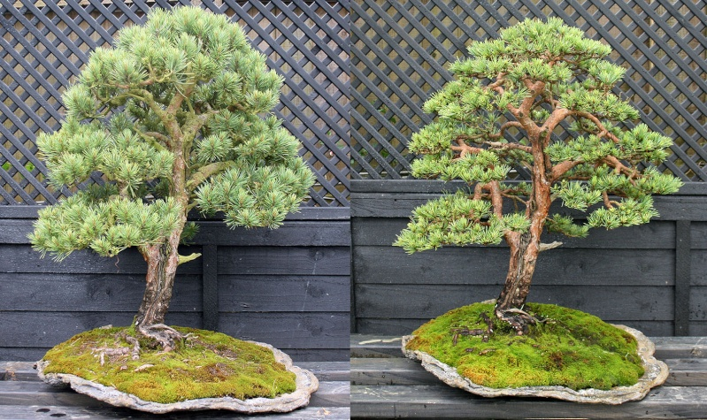 A Scots pine chooses a new keeper Cornwa10