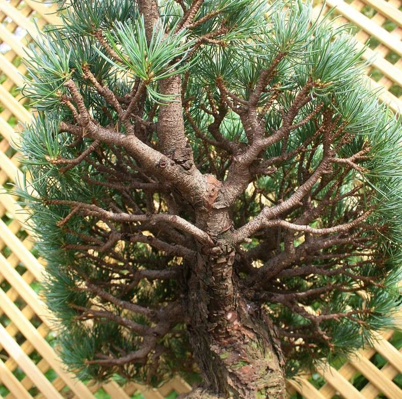 Ramification...Is there such thing as too much? Pine1d11