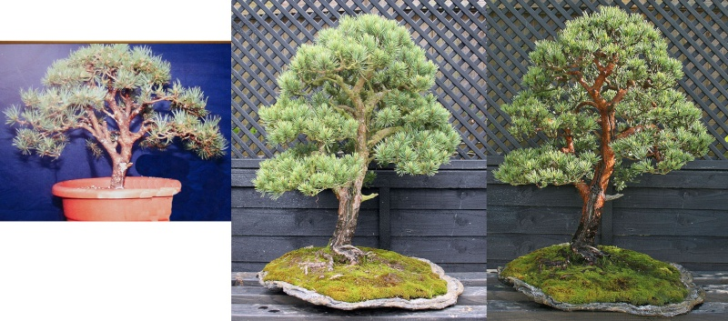 A Scots pine chooses a new keeper Untitl21