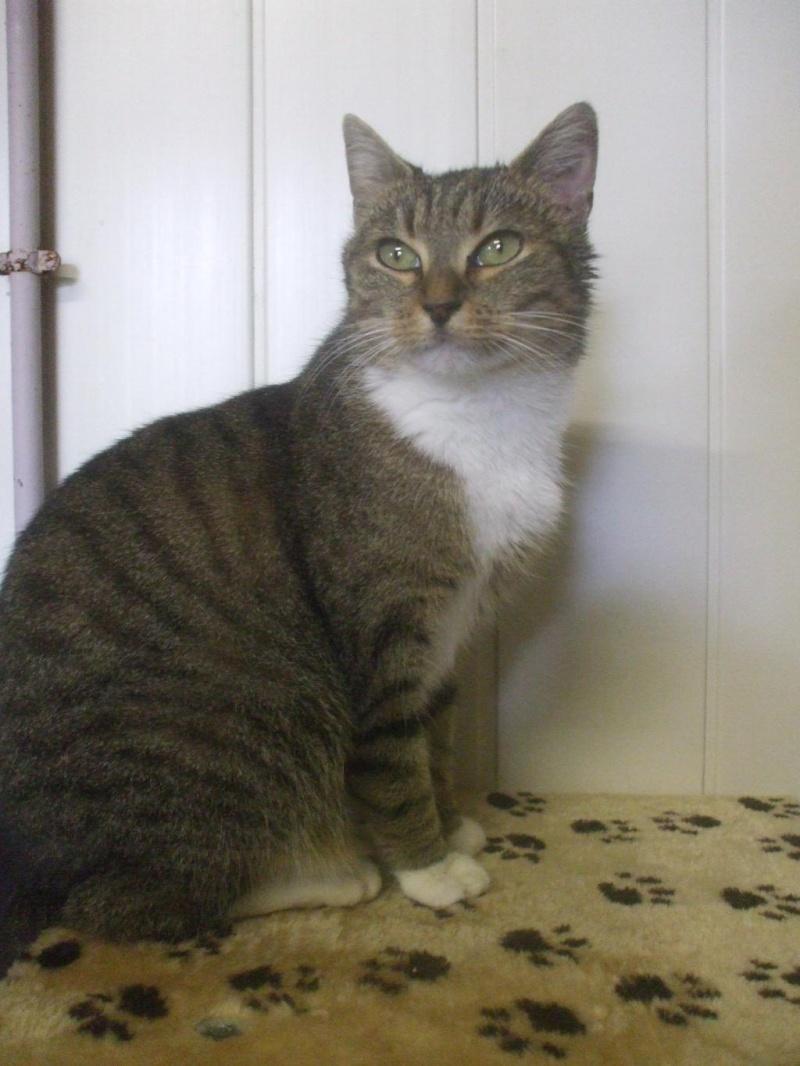 Noisette, 2 ans, tigrée et blanche (la maison des chats de la sentinelle)59 Dscf1211