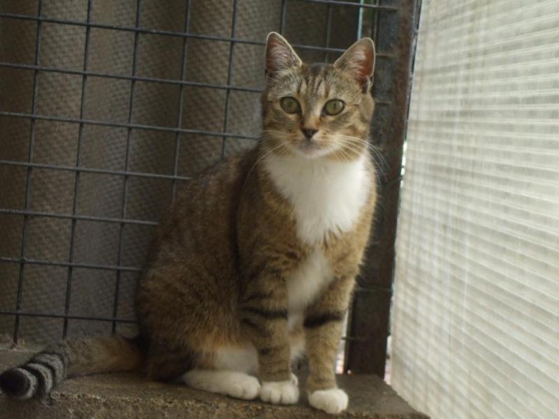 Noisette, 2 ans, tigrée et blanche (la maison des chats de la sentinelle)59 Dscf7410