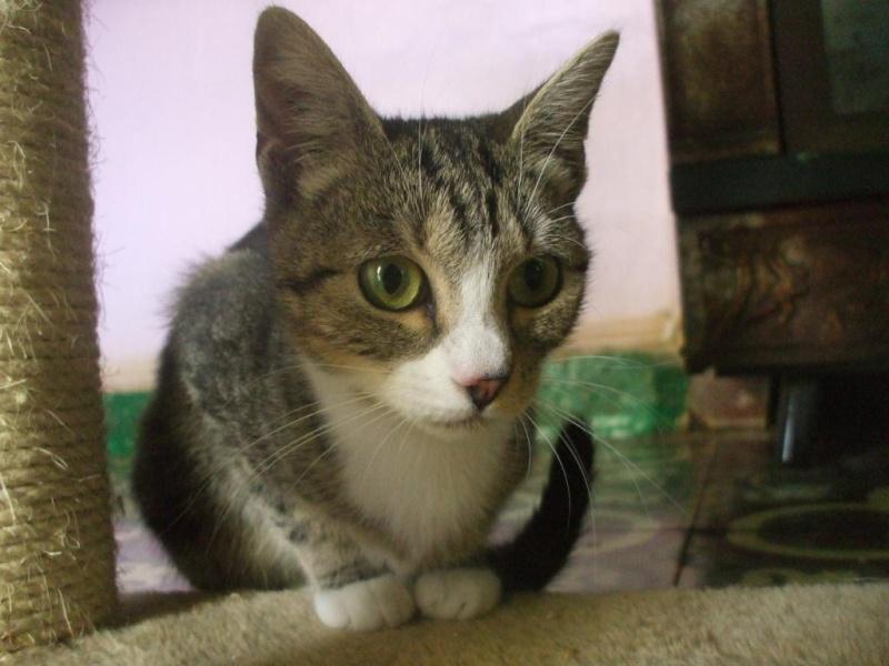 Nina, 1 an et demi, tigrée et blanche(la maison des chats de la sentinelle)59 Dscf8910