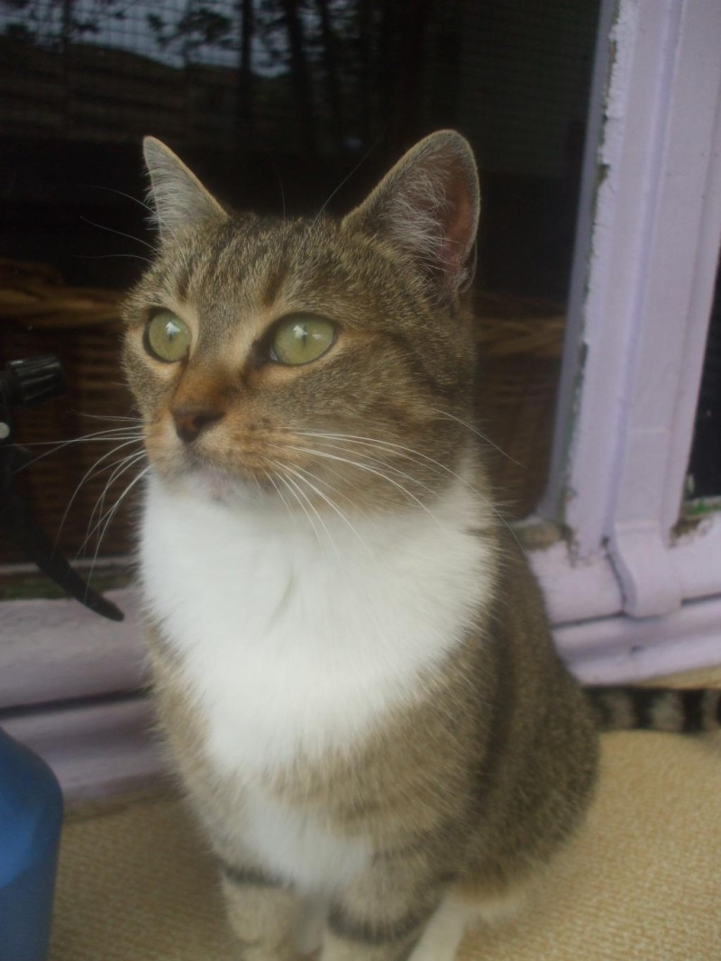 Noisette, 2 ans, tigrée et blanche (la maison des chats de la sentinelle)59 Dscf9610
