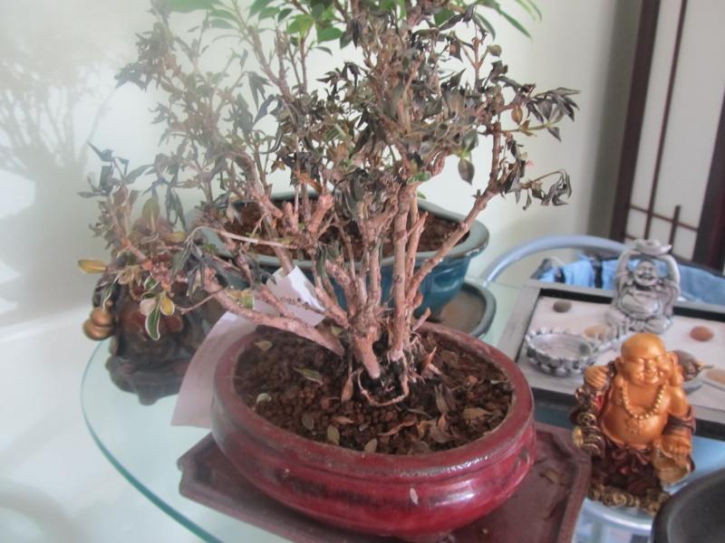 bonsai serissa panache de 5 ans Img_1510