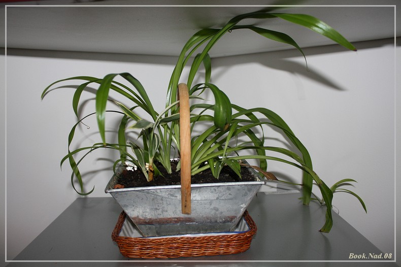 Plante Araignée Img_9710