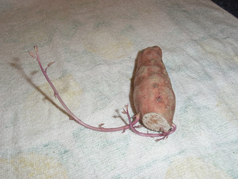 sweet potato question - Page 4 R4005114