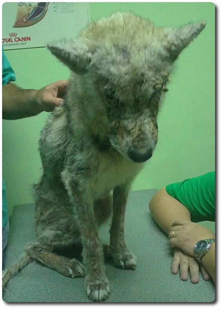 Chicca et Fox étaient deux Huskies... 2011_112