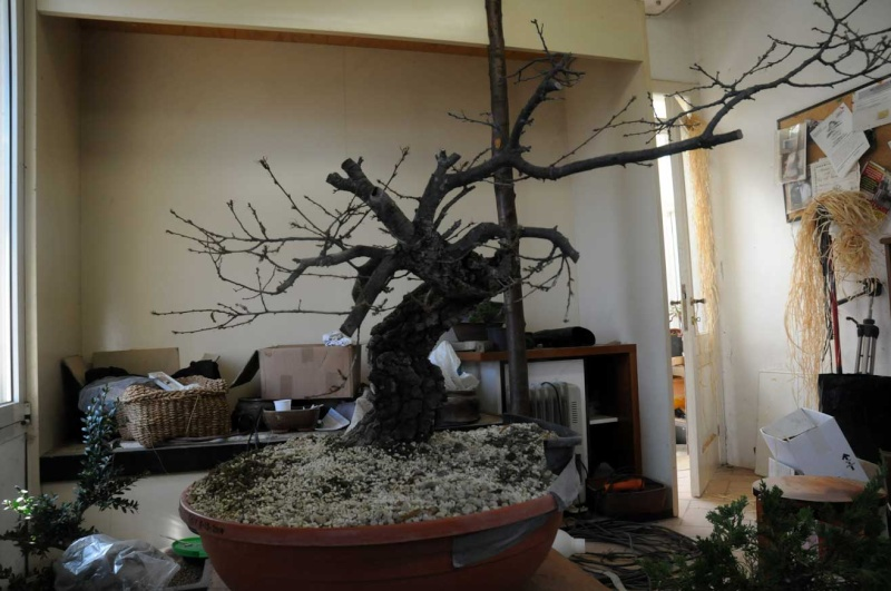 Quercus cerris Dsc_4111