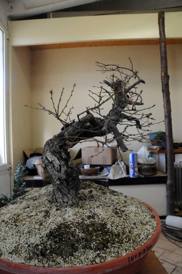 Quercus cerris Dsc_4112