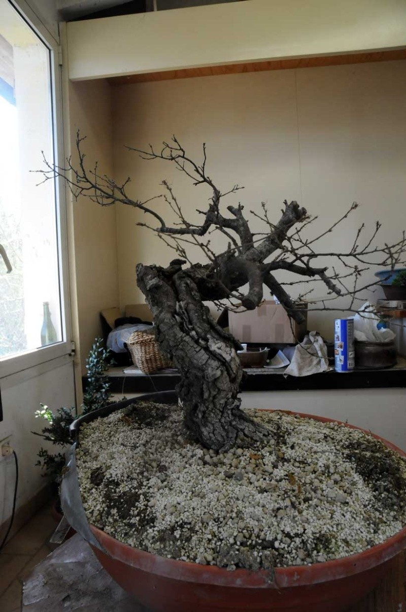 Quercus cerris Dsc_4113