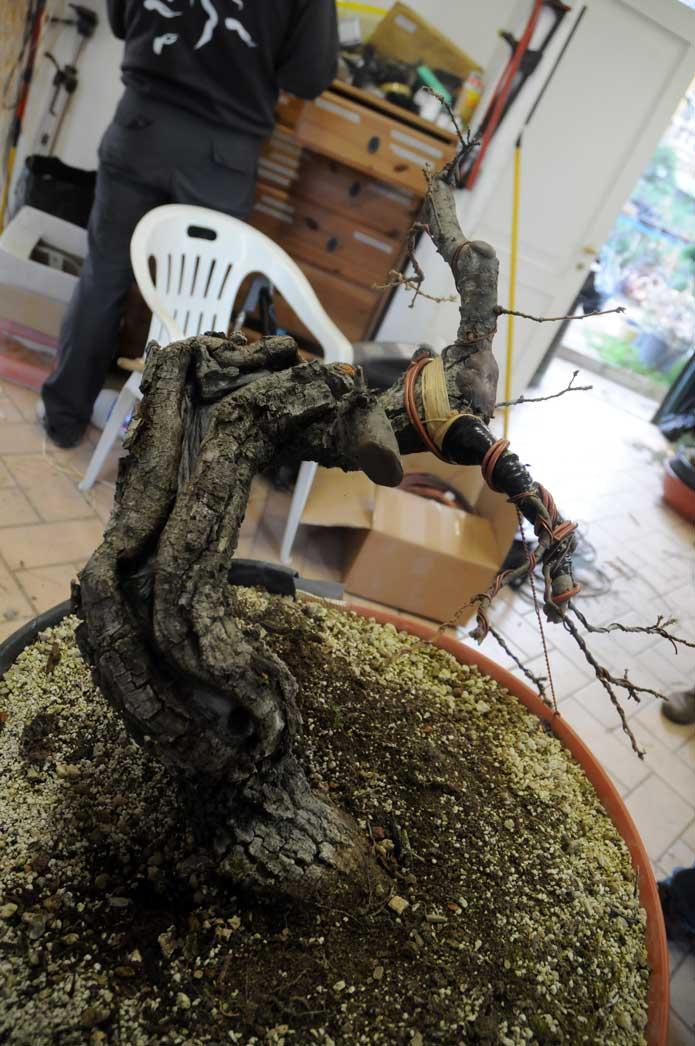 Quercus cerris Dsc_4117