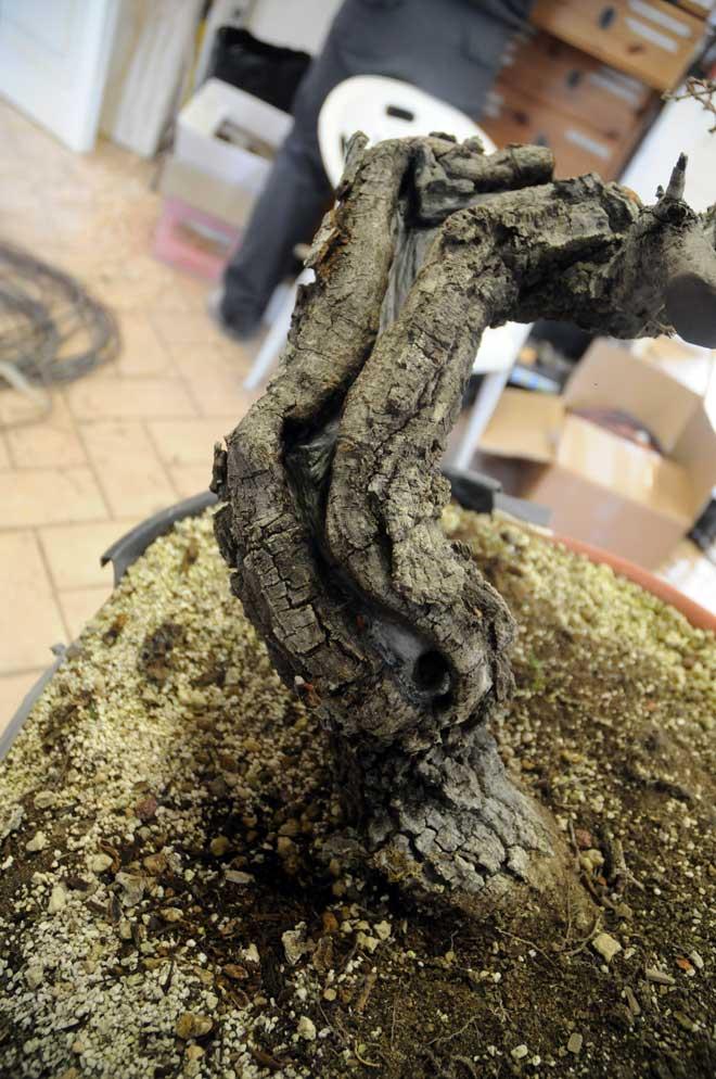 Quercus cerris Dsc_4118
