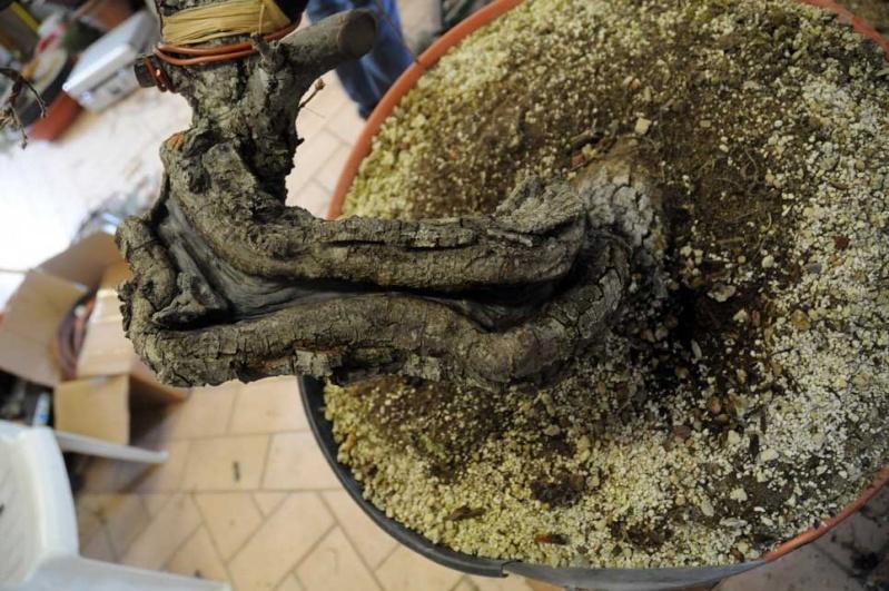 Quercus cerris Dsc_4119
