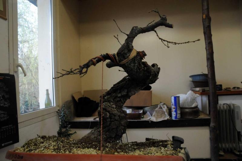 Quercus cerris Dsc_4121