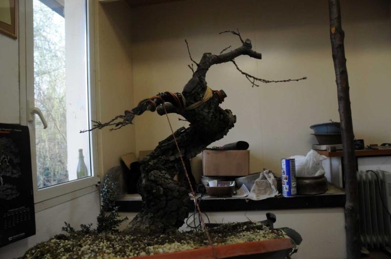 Quercus cerris Dsc_4122
