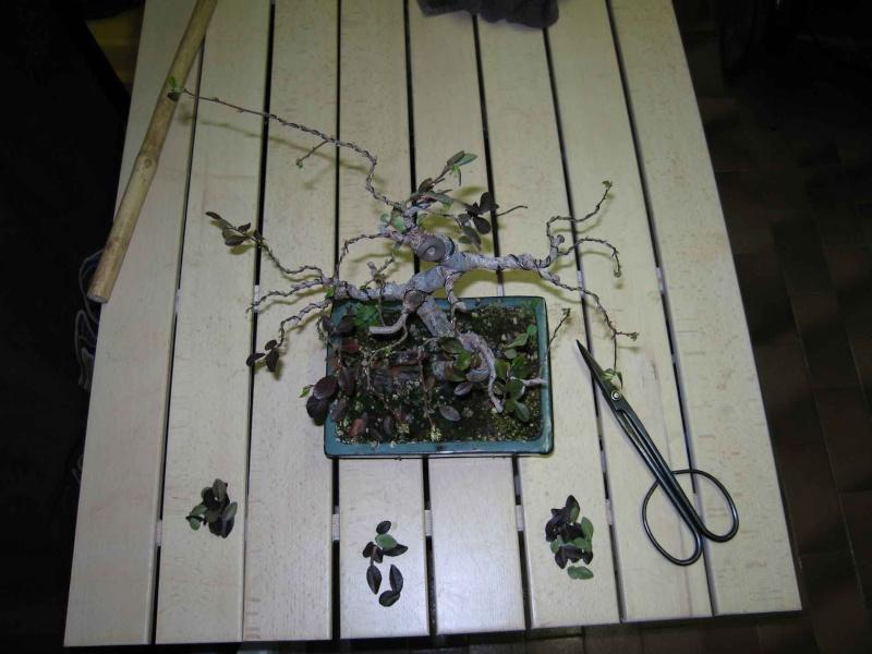 Ulmus Parvifolia (Olmo Cinese) - Anlaids Img_3510