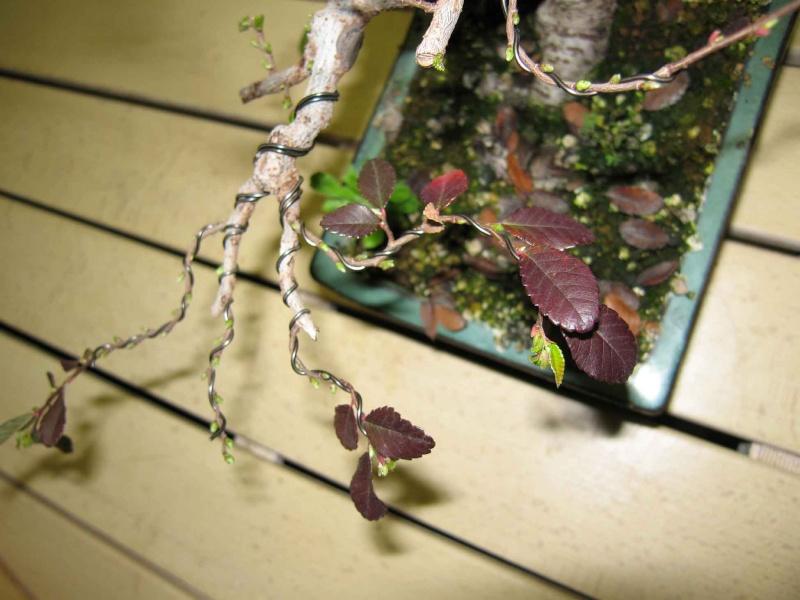 Ulmus Parvifolia (Olmo Cinese) - Anlaids Img_3511