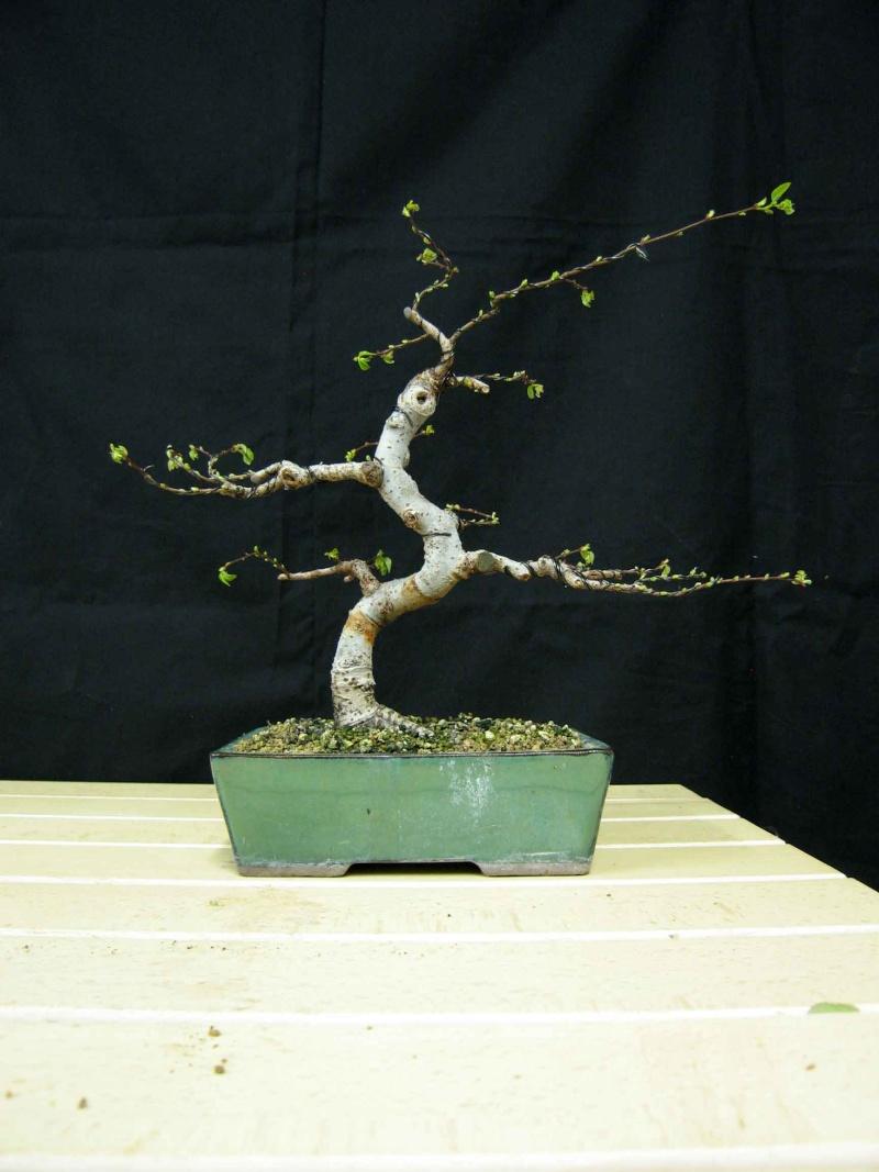 Ulmus Parvifolia (Olmo Cinese) - Anlaids Img_3516