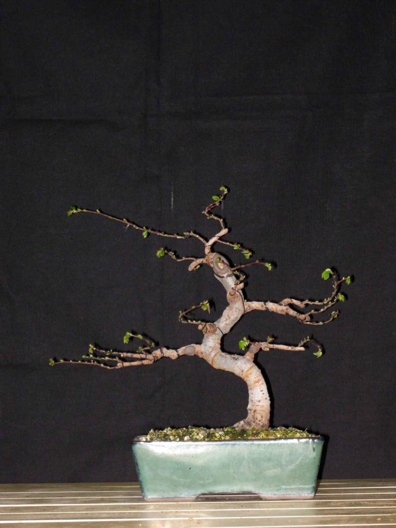 Ulmus Parvifolia (Olmo Cinese) - Anlaids Img_3517