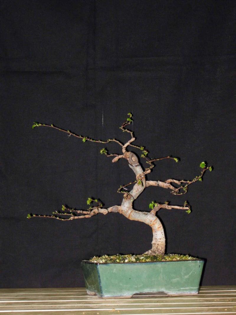 Ulmus Parvifolia (Olmo Cinese) - Anlaids Img_3518