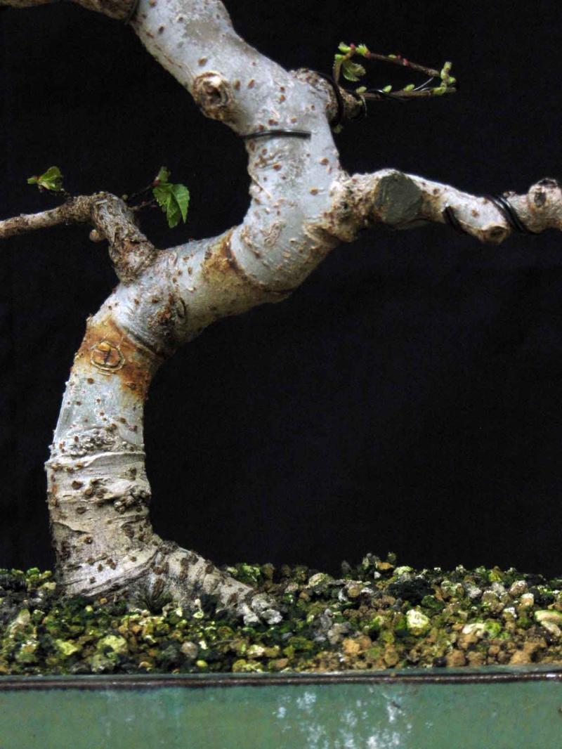 Ulmus Parvifolia (Olmo Cinese) - Anlaids Img_3519