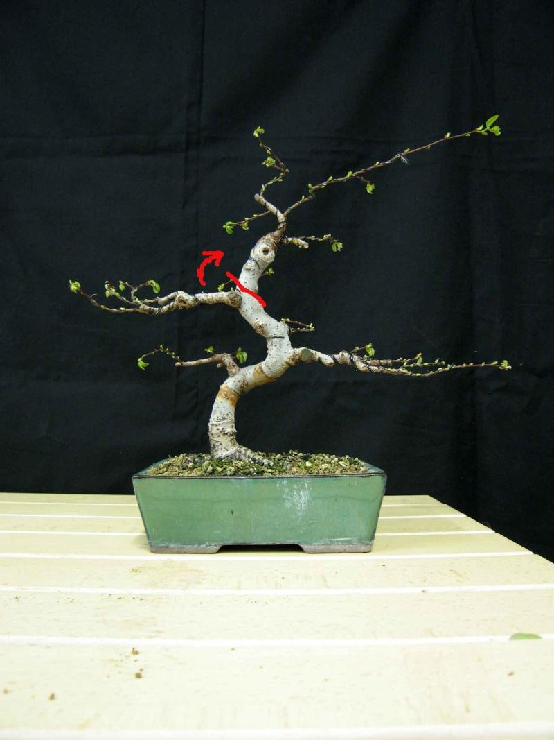 Ulmus Parvifolia (Olmo Cinese) - Anlaids Img_3520