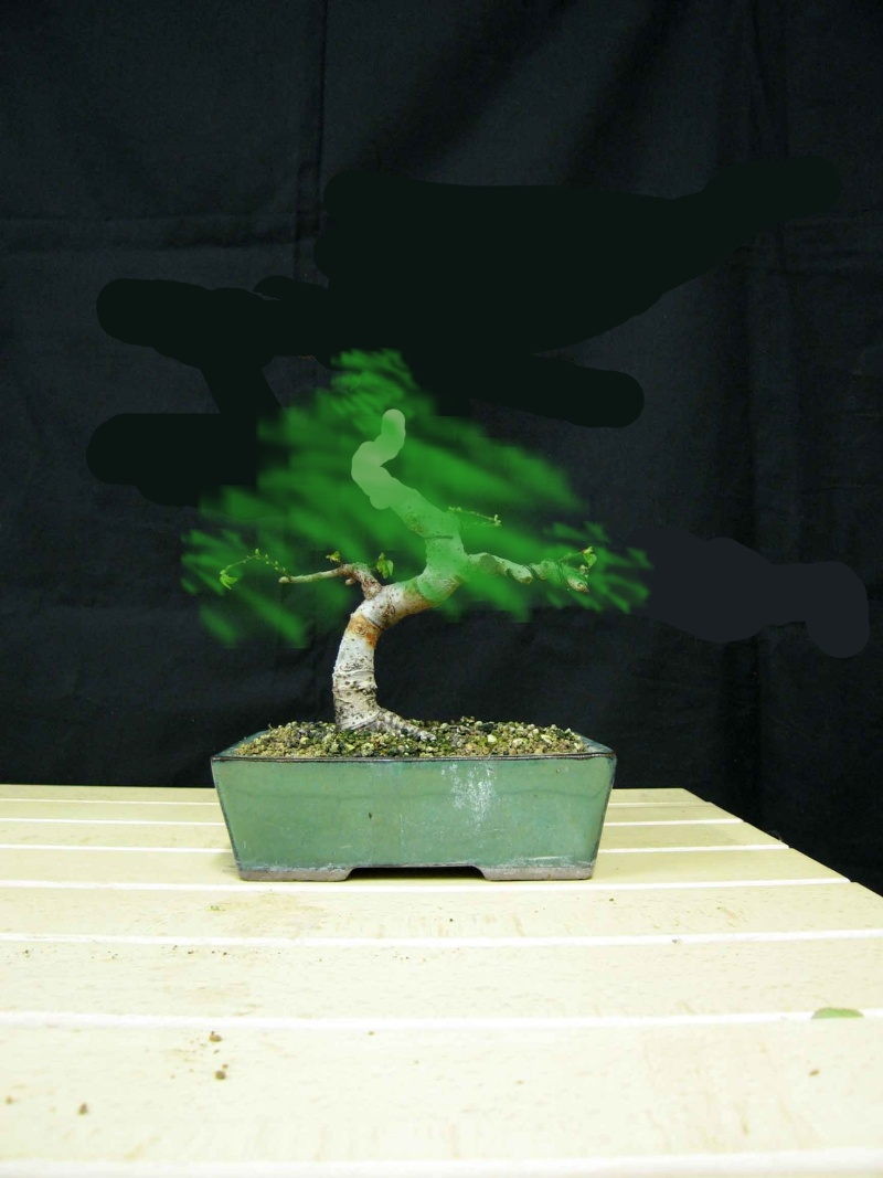 Ulmus Parvifolia (Olmo Cinese) - Anlaids Img_3521