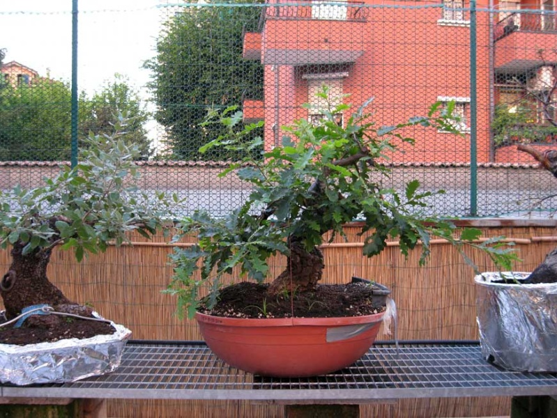 Quercus cerris Img_4021