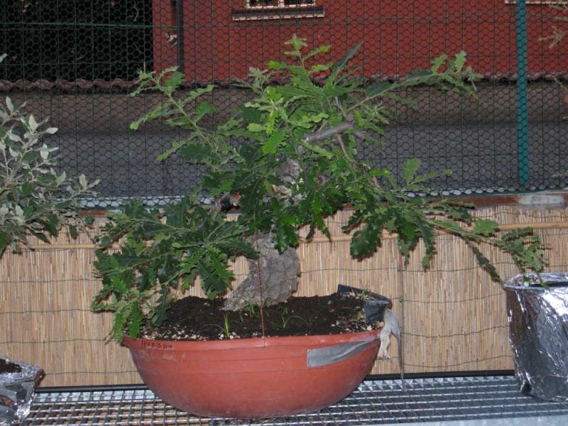 Quercus cerris Img_4022