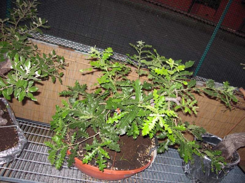 Quercus cerris Img_4023
