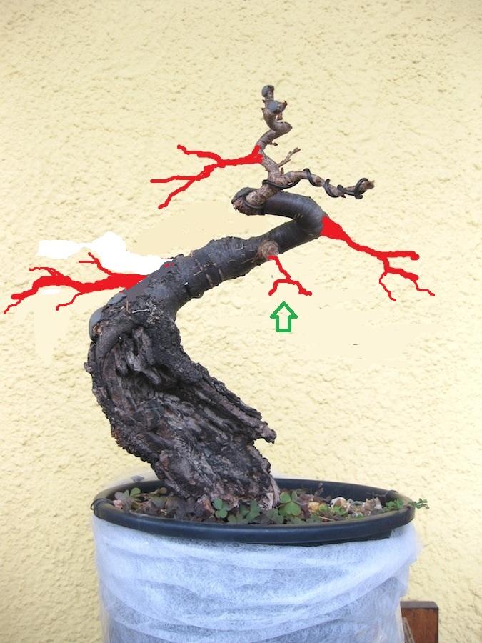 "Prunus mahaleb ""Stelo di giada"". - Pagina 4 Img_4051"