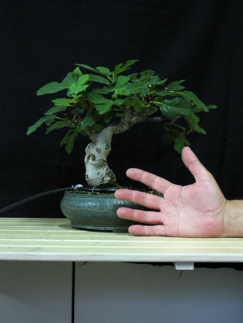 Ficus-Carica - Pagina 3 Img_4118