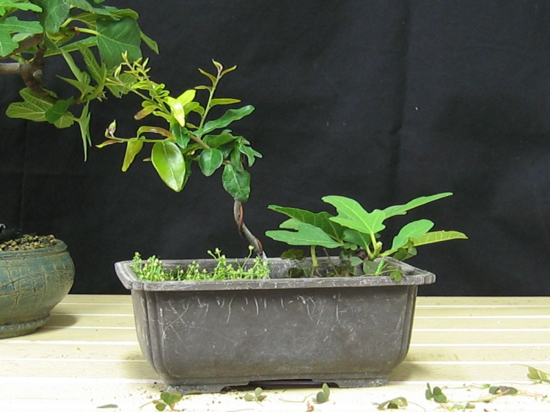 Ficus-Carica - Pagina 3 Img_4122
