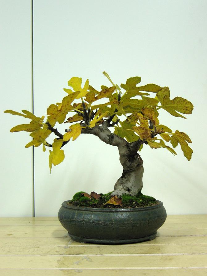 Ficus-Carica - Pagina 4 Img_4610