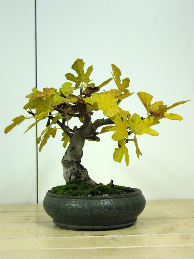 Ficus-Carica - Pagina 4 Img_4611
