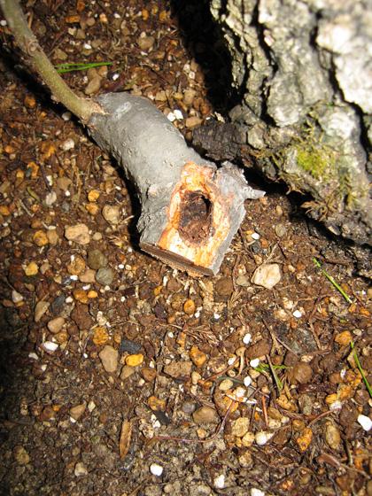 Quercus cerris - Pagina 3 Img_4620